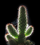 Beautiful close up and  rim light cactus on black background Stock Image