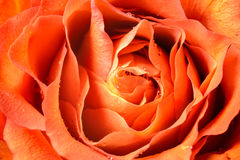 Beautiful close up of rose Royalty Free Stock Photos