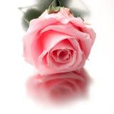 Beautiful close up rose Stock Photos