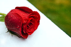 Beautiful close-up rose with water drops Royalty Free Stock Images