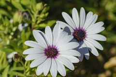 Beautiful close up shot of Blue and white Daisybush, Cape Daisy. At Los Angeles Royalty Free Stock Images