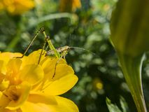 Beautiful close up shot of a grasshopper sit on a wild flower Stock Photo