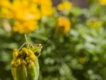 Beautiful close up shot of a grasshopper sit on a wild flower Royalty Free Stock Images