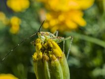 Beautiful close up shot of a grasshopper sit on a wild flower Stock Image