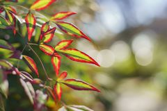 Beautiful close up shot of green leaves with red edge. Saw at Los Angeles Stock Image