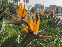 Beautiful close up shot of Strelitzia reginae. At Lincoln Park, Los Angeles, California, United States Stock Images