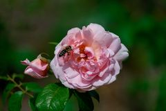 Beautiful close up of a single pink strawberry hill rose flower head with a bee royalty free stock photography