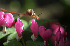 Beautiful close up with snail and bleeding heart Royalty Free Stock Images