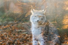 Soft light Lynx. Beautiful close up soft portrait of a Eurasian lynx Lynx lynx Stock Image