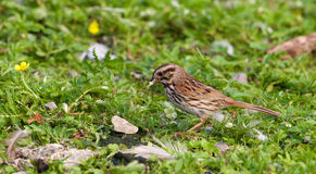 The beautiful close-up of the sparrow with the food Royalty Free Stock Images
