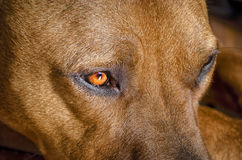 Beautiful close up of a Staffordshire  American terrier. Staffordshire  American terrier close up Stock Images