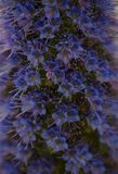Beautiful close up of star of Madeira. Close up of beautiful star of Madeira, variegated Pride of Madeira, photographed with artistic blur royalty free stock images