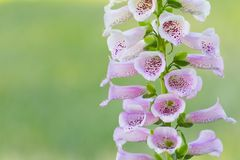 Beautiful close-up stem of Foxglove or Digitalis Purpurea on a bright green pastel background Stock Images