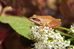 Beautiful close up with tree frog and blossomed viburnum Royalty Free Stock Photography