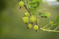 Beautiful close up view of green gooseberry isolated. Beautiful green backgrounds stock image