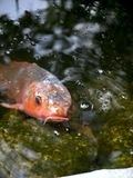 Beautiful close-up view of a Japanese koi carp royalty free stock photo