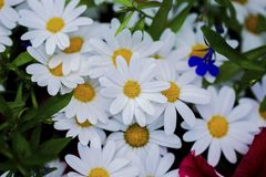 Beautiful close up view of white daisy flowers isolated. royalty free stock photography