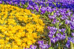 Beautiful close up of yellow and purple tulips in a park stock photos