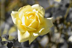 Beautiful close up of yellow rose with selective colour stock images