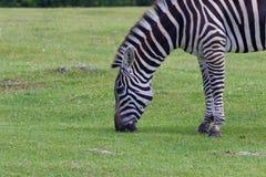 The beautiful close-up of a zebra Stock Photo