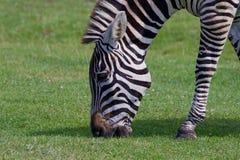 Beautiful close-up of the zebra Stock Photography