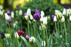 Beautiful tulips flowering in the summer park. Beautiful closed tulips blooming in a field or on a flowerbed Royalty Free Stock Photography