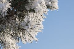Pine needles with winter rime and frost crystals in sunlight stock photography