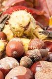 Beautiful closeup of autumn acorn and horse chestnuts Stock Image