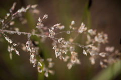 Beautiful closeup of a bent grass on a natural background after the rain with water droplets. Royalty Free Stock Photos