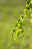 A beautiful closeup of a birch branches in spring Stock Images