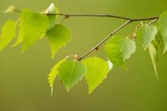 A beautiful closeup of a birch branches in spring Stock Photos
