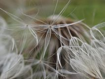Beautiful closeup of a dandelion flower royalty free stock photo