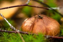 Little spider sits on a forest mushroom hat royalty free stock photo
