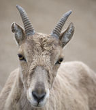 Beautiful closeup of a goat. Royalty Free Stock Photos