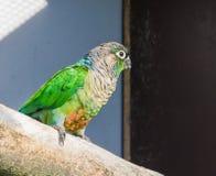 Beautiful closeup of a green cheeked parakeet, a small parrot from brazil. A beautiful closeup of a green cheeked parakeet, a small parrot from brazil stock photo