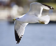 Beautiful closeup with the gull in flight Stock Image