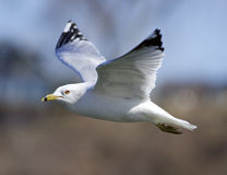 Beautiful closeup with the gull in flight Stock Photography