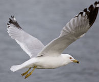 Beautiful closeup with the gull in flight Royalty Free Stock Images