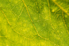 A beautiful closeup of a leaf structure. Macro of sunflower leaf against the sun. Stock Photo