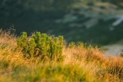 A beautiful closeup of a mountain vegetation in Tatra mountains in Slovakia, Europe. Summer plants in Tatry national park. Natural scenery royalty free stock photography
