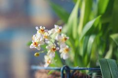 Beautiful closeup of an orchid White Oncidium Twinkle mini orchid stock image