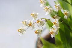 Beautiful closeup of an orchid White Oncidium Twinkle mini orchid royalty free stock photos