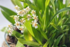 Beautiful closeup of an orchid White Oncidium Twinkle mini orchid stock photography