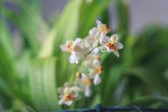 Beautiful closeup of an orchid White Oncidium Twinkle mini orchid. Selective focus stock images