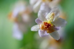 Beautiful closeup of an orchid White Oncidium Twinkle mini orchid. Selective focus royalty free stock image