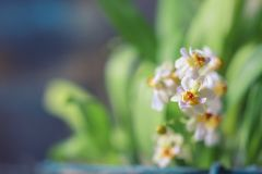 Beautiful closeup of an orchid White Oncidium Twinkle mini orchid stock photos