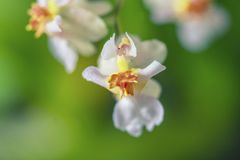 Beautiful closeup of an orchid White Oncidium Twinkle mini orchid. Selective focus stock image