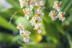 Beautiful closeup of an orchid White Oncidium Twinkle mini orchid. Selective focus royalty free stock images