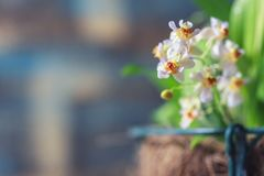 Beautiful closeup of an orchid White Oncidium Twinkle mini orchid. Selective focus royalty free stock photos