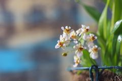 Beautiful closeup of an orchid White Oncidium Twinkle mini orchid stock photo